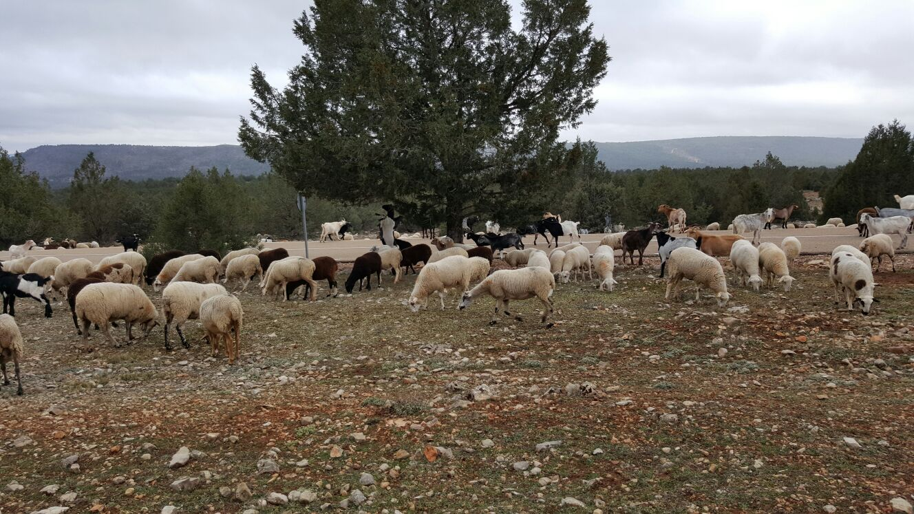 Corderos en la Serranía de Cuenca